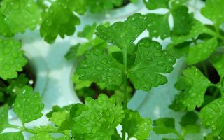 A close up horizontal image of celery leaves covered in light droplets of water pictured on a soft focus background.