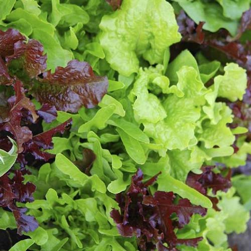 A close up square image of cut and come again lettuce growing in the garden.