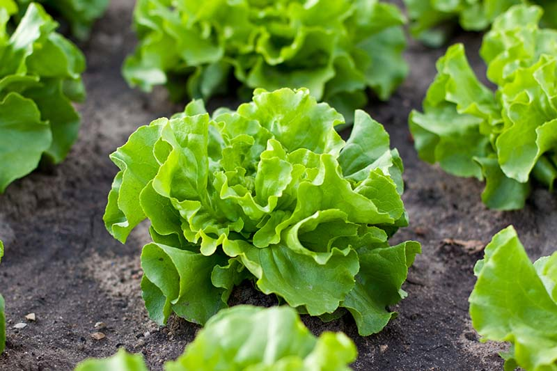 A close up horizontal image of rows of lettuce growing in the garden.