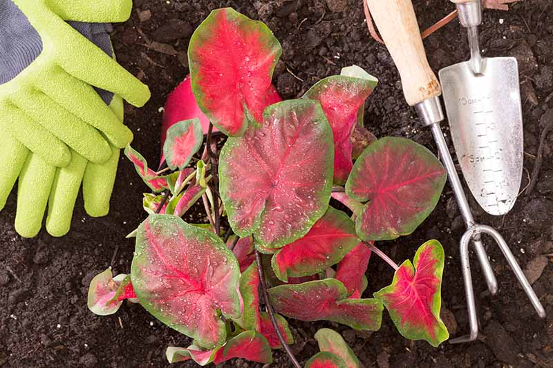 A close up horizontal image of two gloved hands from the left of the frame with garden tools preparing to dig up a caladium plant from the ground for winter storage.