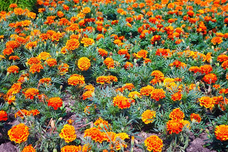A close up horizontal image of a swath of orange marigolds growing in the garden.