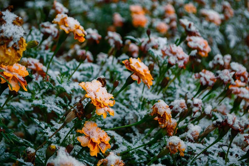 A close up horizontal image of marigolds growing in the frost.