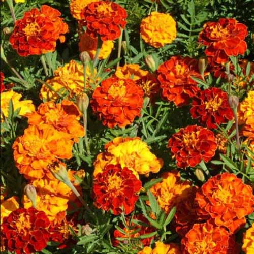 A close up square image of red and orange marigolds growing in the garden in bright sunshine.