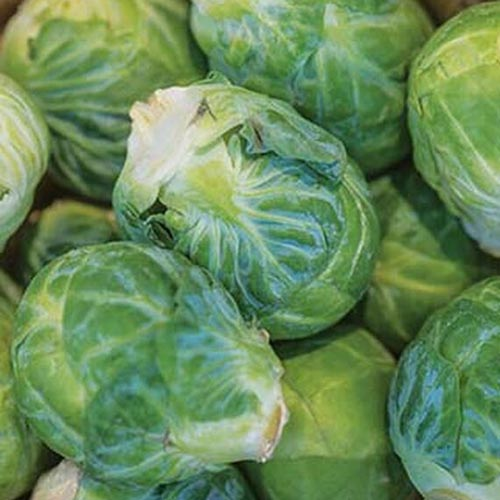 A close up square image of Brassica oleracea var. gemmifera 'Mighty' brussels sprouts in a pile.