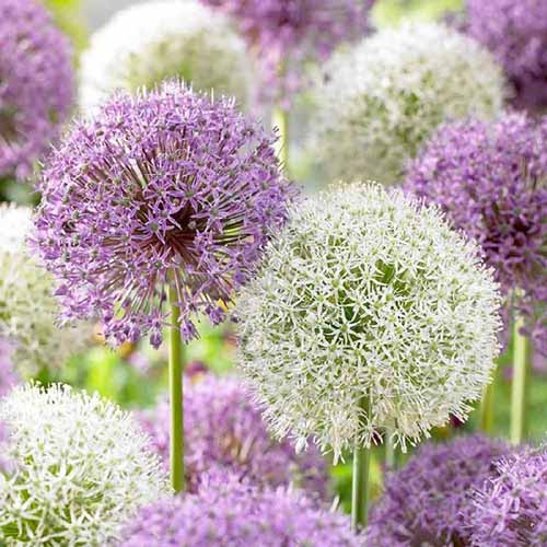 A close up square image of A. giganteum 'Mont Blanc' growing in the garden in shades of white and purple, pictured on a soft focus background.