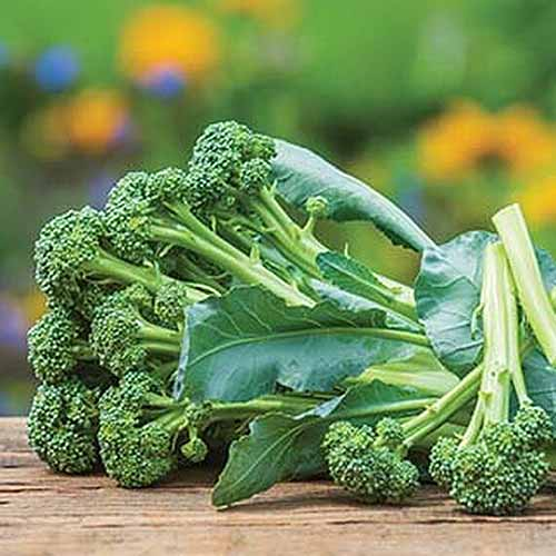 A close up square image of freshly harvested Brassica oleracea var. italica 'Montebello' set on a wooden surface, pictured on a soft focus background.