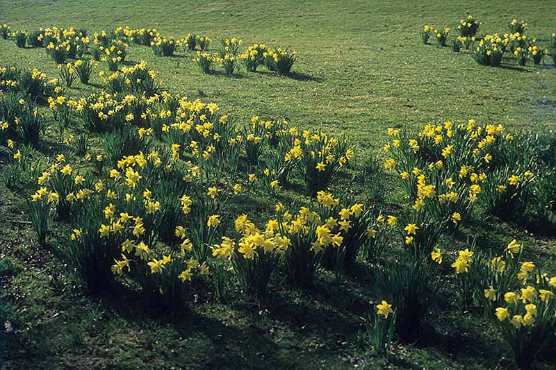 A horizontal image of a lawn with numerous bright yellow narcissus flowers blooming in the spring.