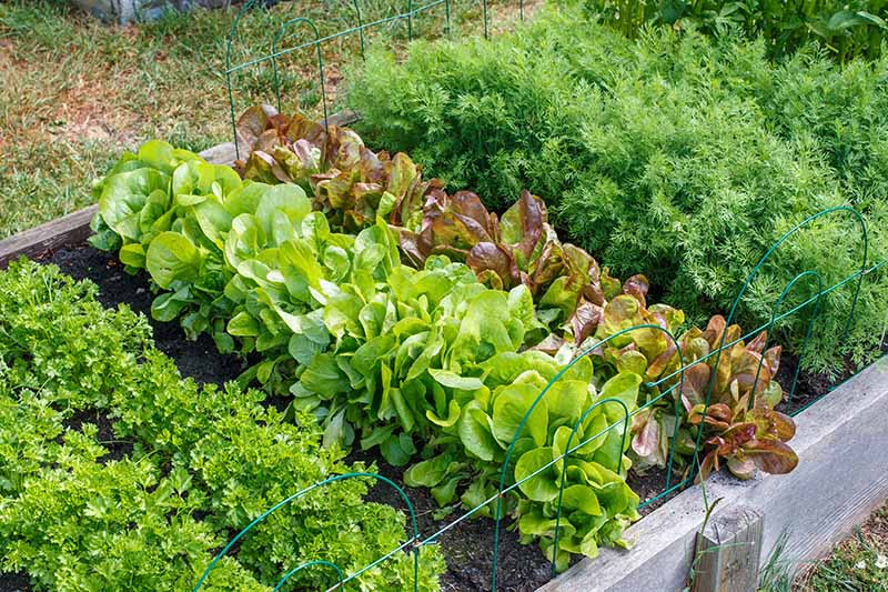 A horizontal image of a raised wooden garden bed growing lettuce, parsley, and a variety of other herbs and vegetables.