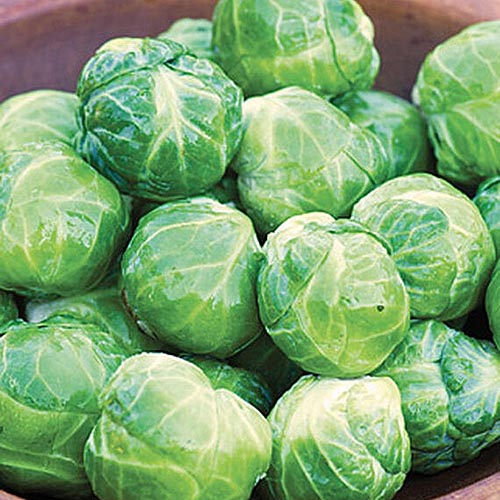 A close up square image of a pile of Brassica oleracea var. gemmifera 'Octia,' freshly harvested in a ceramic bowl.