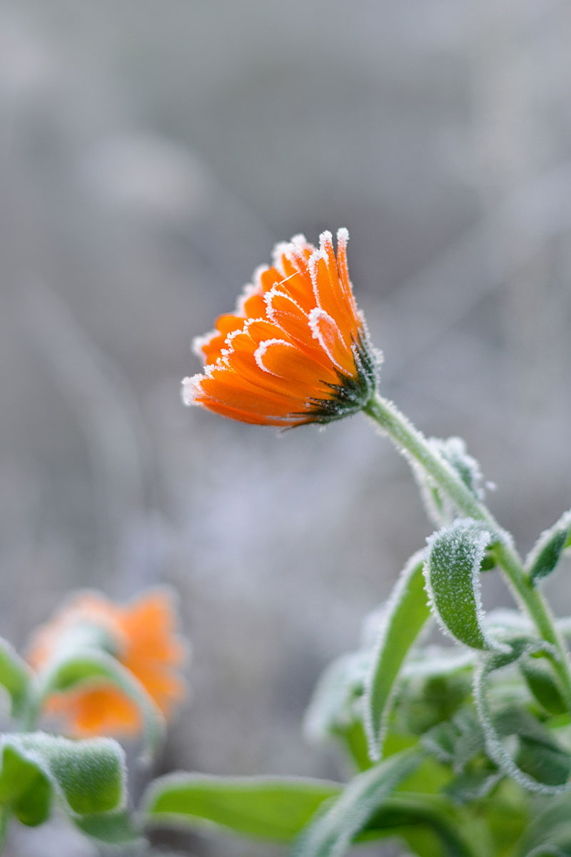 A close up vertical image of a bright orange flower covered with a light touch of frost.
