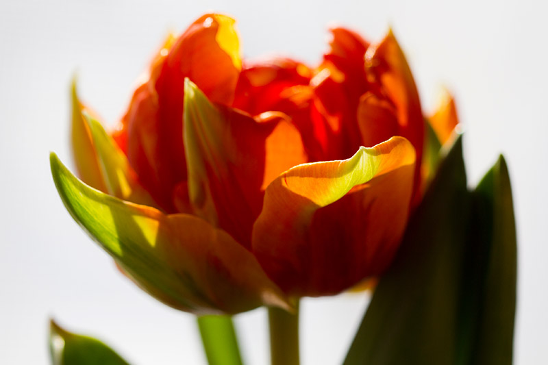 A close up horizontal image of a delicate orange and purple 'Orange Princess' tulip, pictured in bright sunshine on a white background.