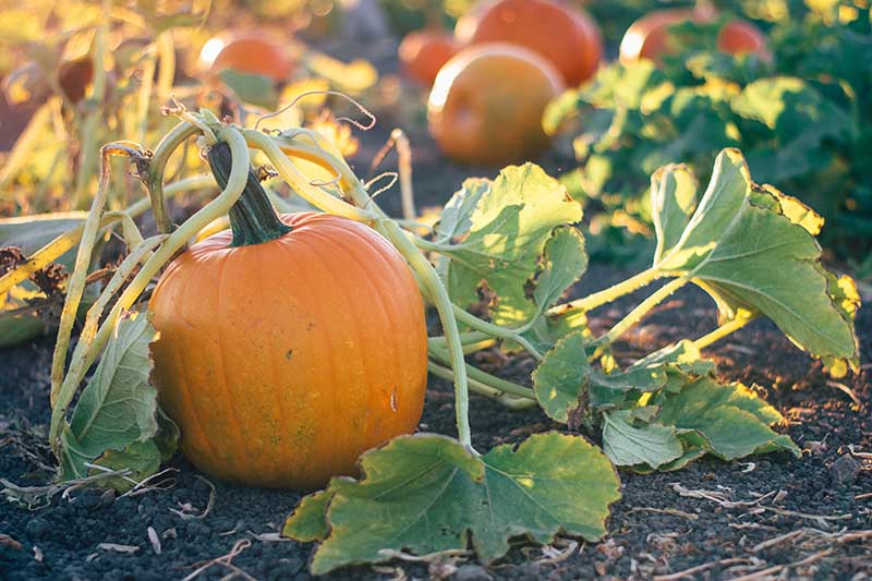 A close up horizontal image of an orange pumpkin ripening on the vine, surrounded by foliage, pictured in light sunshine on a soft focus background.
