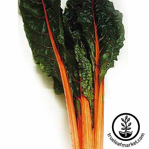 A close up square image of 'Orange' Swiss chard set on a white surface. To the bottom right of the frame is a black circular logo and text.