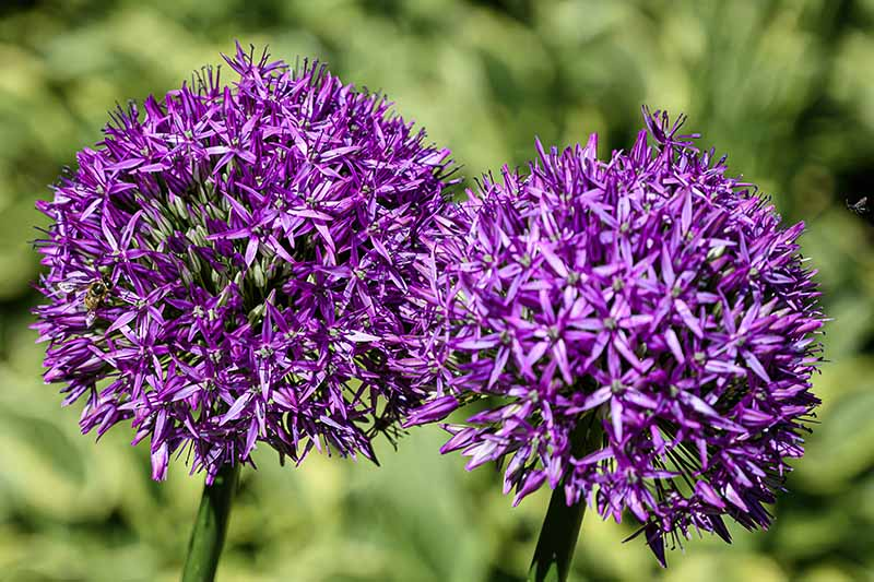 A close up horizontal image of large purple flowers growing in the garden pictured in bright sunshine on a soft focus background.