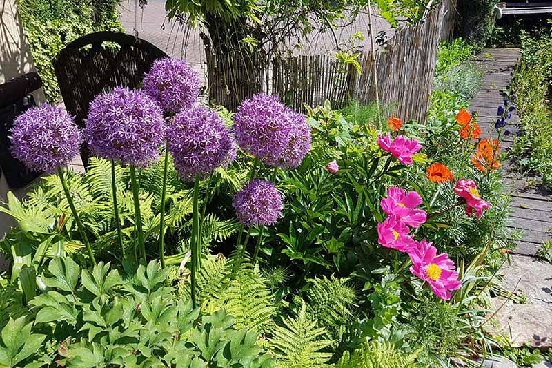 A horizontal image of a garden border planted with a variety of different flowering plants mixed with perennial foliage beside a wooden pathway.