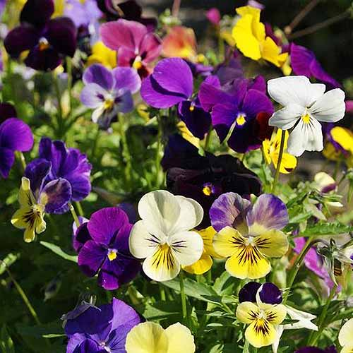 A close up square image of multicolored pansies growing in the garden pictured in bright sunshine.