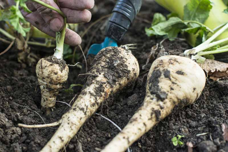 A close up horizontal image of a hand from the top of the frame pulling a root crop out of dark rich soil in the garden.