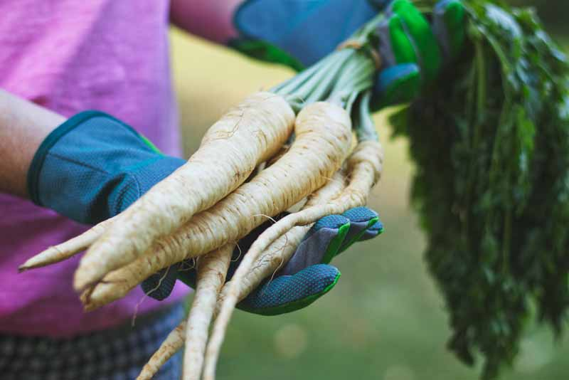 A close up horizontal image of two gloves from the left of the frame holding freshly harvested parsnips from the vegetable garden with the tops still attached, pictured on a soft focus background.