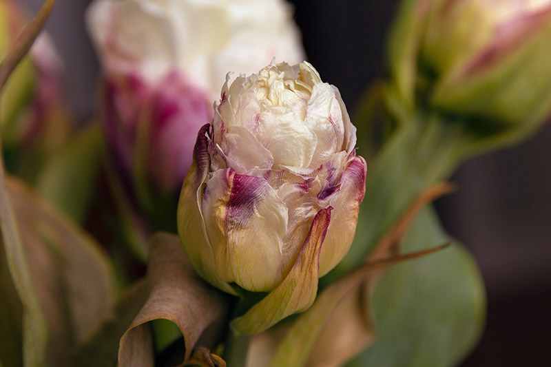 A close up horizontal image of a double hybrid peony tulip bud that's wilting in the garden, pictured on a soft focus background.