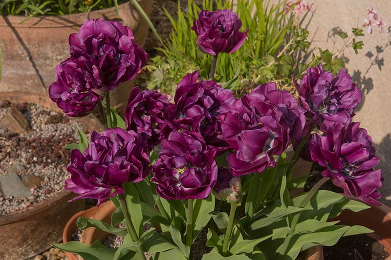 A close up horizontal image of dark purple peony tulips growing in a terra cotta container, pictured in bright sunshine.