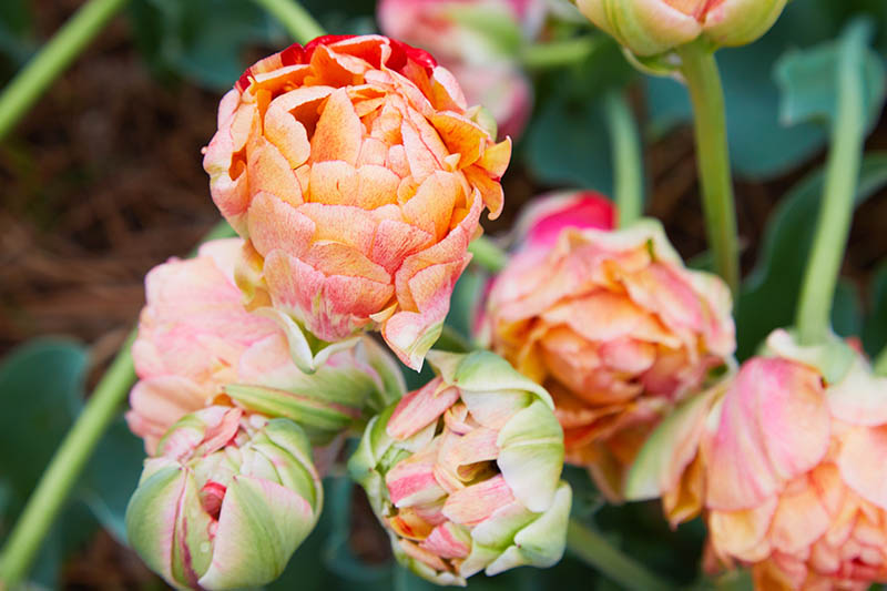 A close up horizontal image of orange and red double hybrid peony hybrid growing in the garden, pictured on a soft focus background.