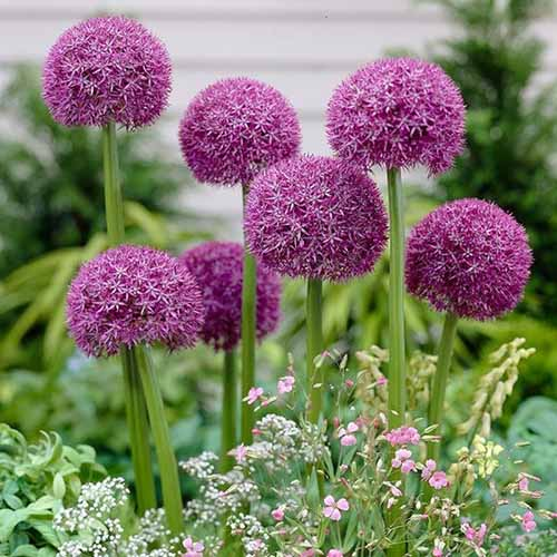 A close up square image of bright purple flowering 'Pinball Wizard' alliums growing in the garden pictured on a soft focus background.
