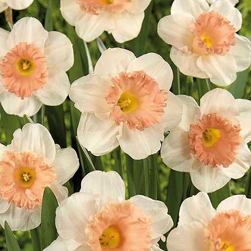 A close up square image of of the delicate light pink 'Pink Parasol' daffodils growing in the garden.