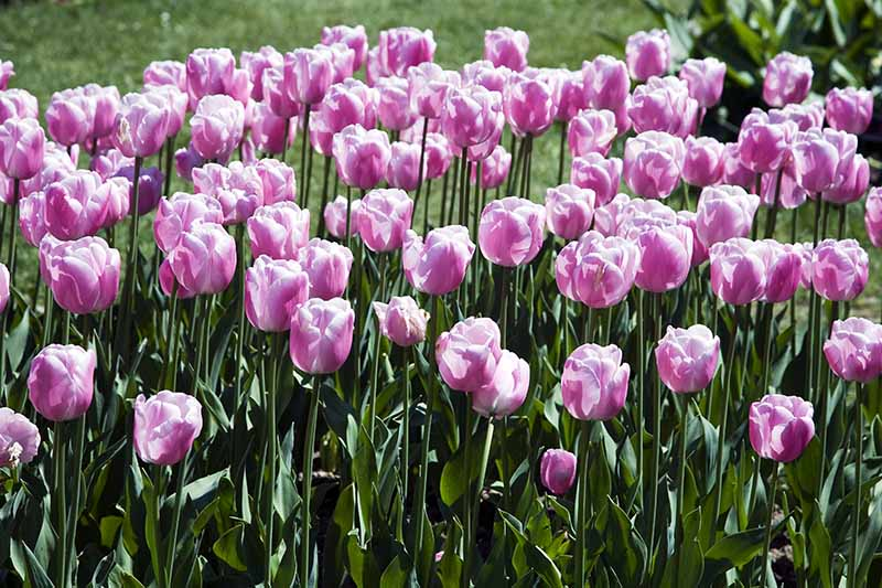 A horizontal image of delicate white and pink Darwin tulips growing in the garden, pictured in bright sunshine with lawn in soft focus in the background.