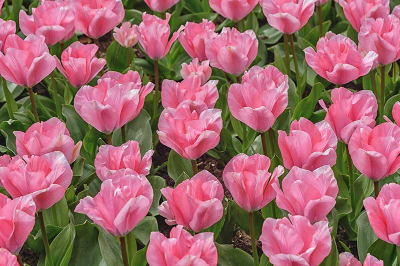 A close up horizontal image of pink Fosteriana tulips growing in the garden, with foliage in the background.