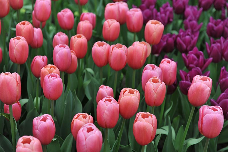 A close up horizontal image of orange-pink colored Triumph tulips growing in the garden, surrounded by foliage.