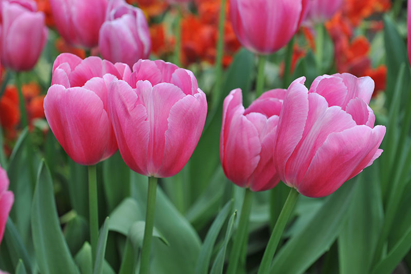 A close up horizontal image of bright pink Single Late tulips growing in the garden with red flowers in soft focus in the background.
