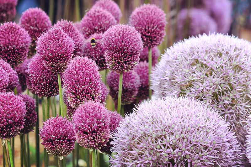 A close up horizontal image of pink and purple round flowers growing in the garden pictured on a soft focus background.