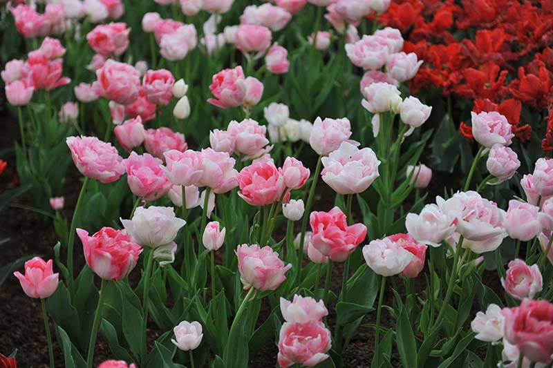 A horizontal image of pink and white Double Late tulips growing in the garden, with red flowers in soft focus in the background.