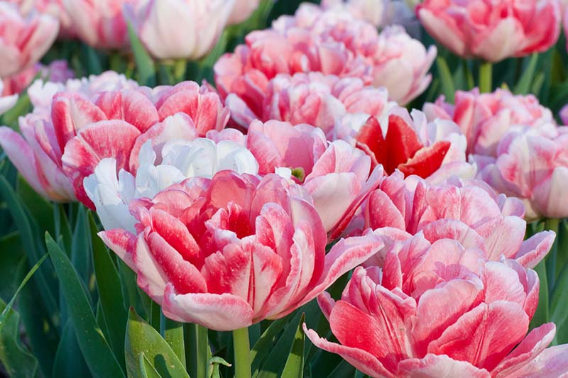 A close up horizontal image of delicate pink and white Double Early tulips growing in the garden, pictured in light sunshine.