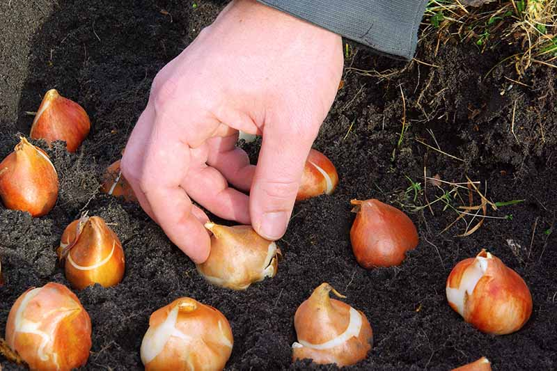 A close up horizontal image of a hand planting spring bulbs in rows in rich soil in the garden.