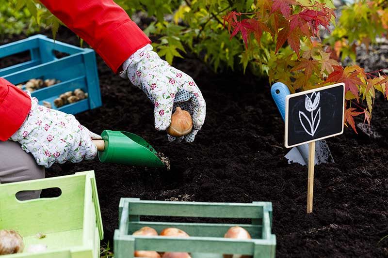 A close up horizontal image of two gloved hands from the left of the frame planting spring bulbs in the garden with leaves in soft focus in the background.