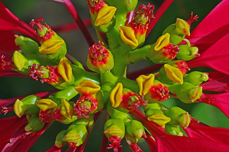 A close up horizontal image of the flowers of a Euphorbia pulcherrima plant surrounded by bright red bracts pictured on a soft focus background.