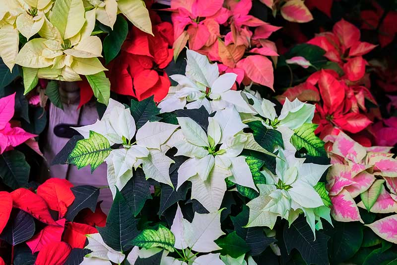 A close up top down picture of different Christmas flowers with colorful bracts in pink, white, red, and variegated shades, pictured on a soft focus background.
