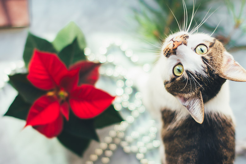 A close up horizontal image of a cat to the right of the frame sitting on a decorated table with a poinsettia plant to the right, pictured on a soft focus background.