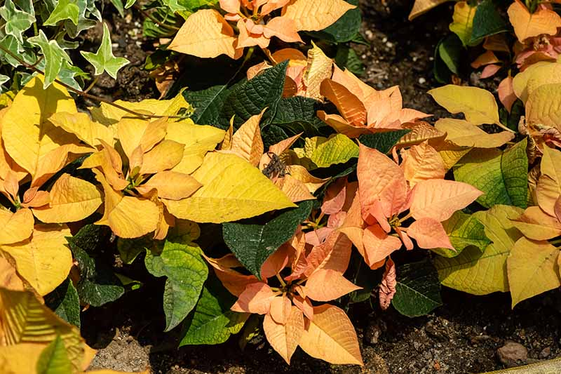 A close up horizontal image of a rich yellow Euphorbia pulcherrima 'Autumn Leaves' growing in the garden in bright sunshine.