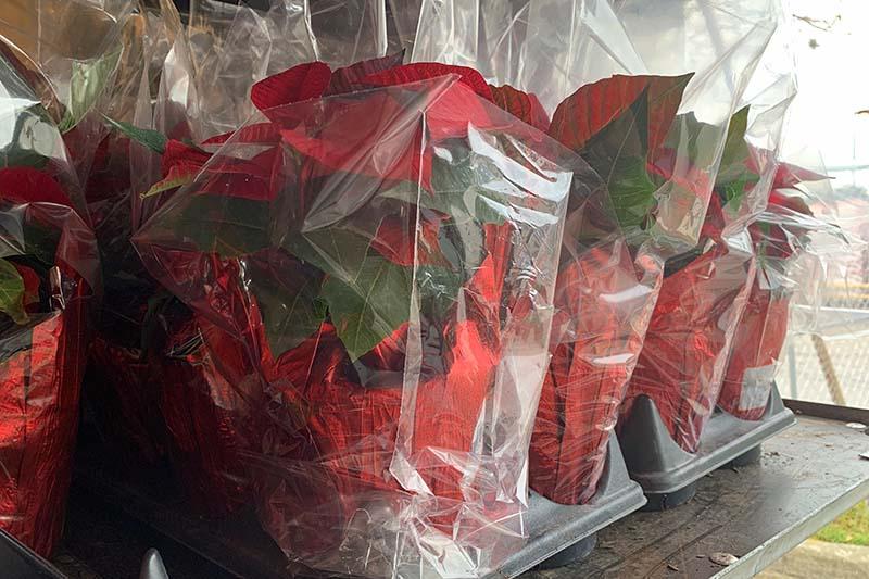 A close up horizontal image of a collection of poinsettia plants in pots surrounded by cellophane wrappers to protect them during transportation.