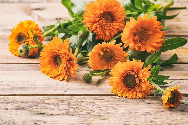 A close up horizontal image of freshly cut stems of calendula flowers set on a rustic wooden surface.