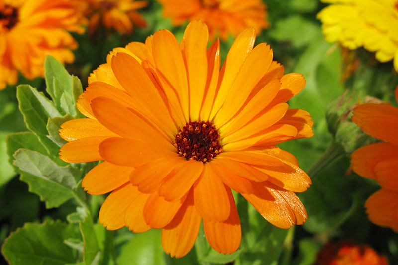 A close up horizontal image of bright orange pot marigold flowers growing in the garden pictured in bright sunshine on a soft focus background.