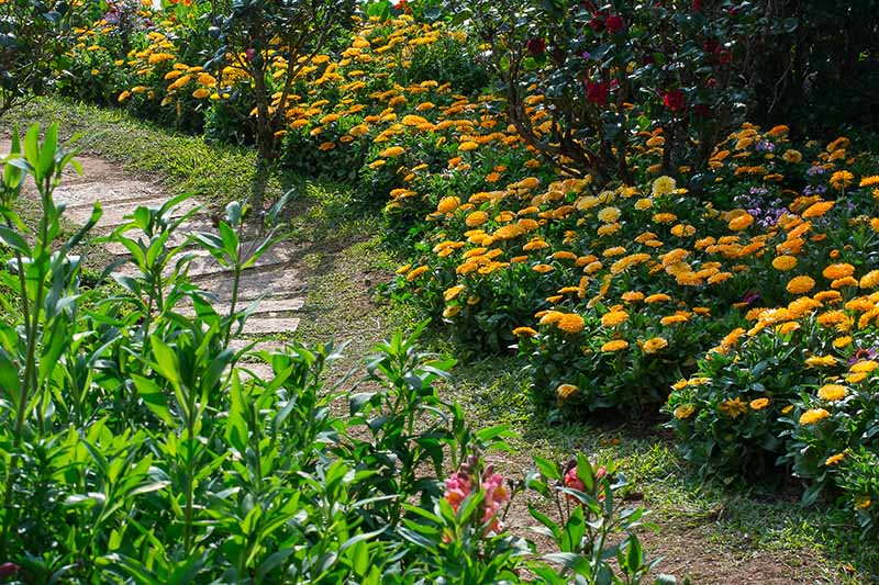 A horizontal image of a garden bed planted with bright orange pot marigolds, with shrubs and trees in the background and a paved path in the foreground.
