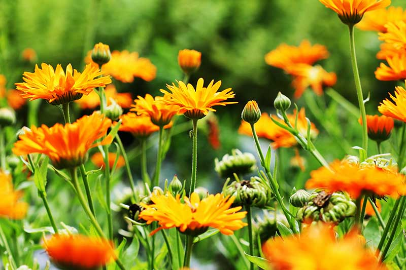 A close up horizontal image of calendula flowers growing in a meadow pictured in light sunshine on a soft focus background.