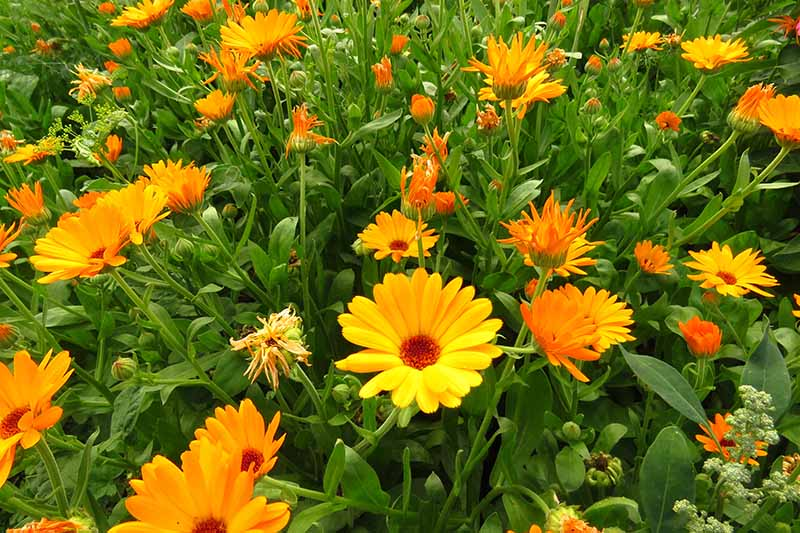 A close up horizontal image of a meadow planted with bright orange and yellow pot marigolds.