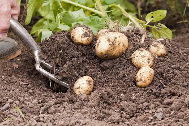 A close up horizontal image of a garden fork digging up fresh potatoes from dark rich earth.