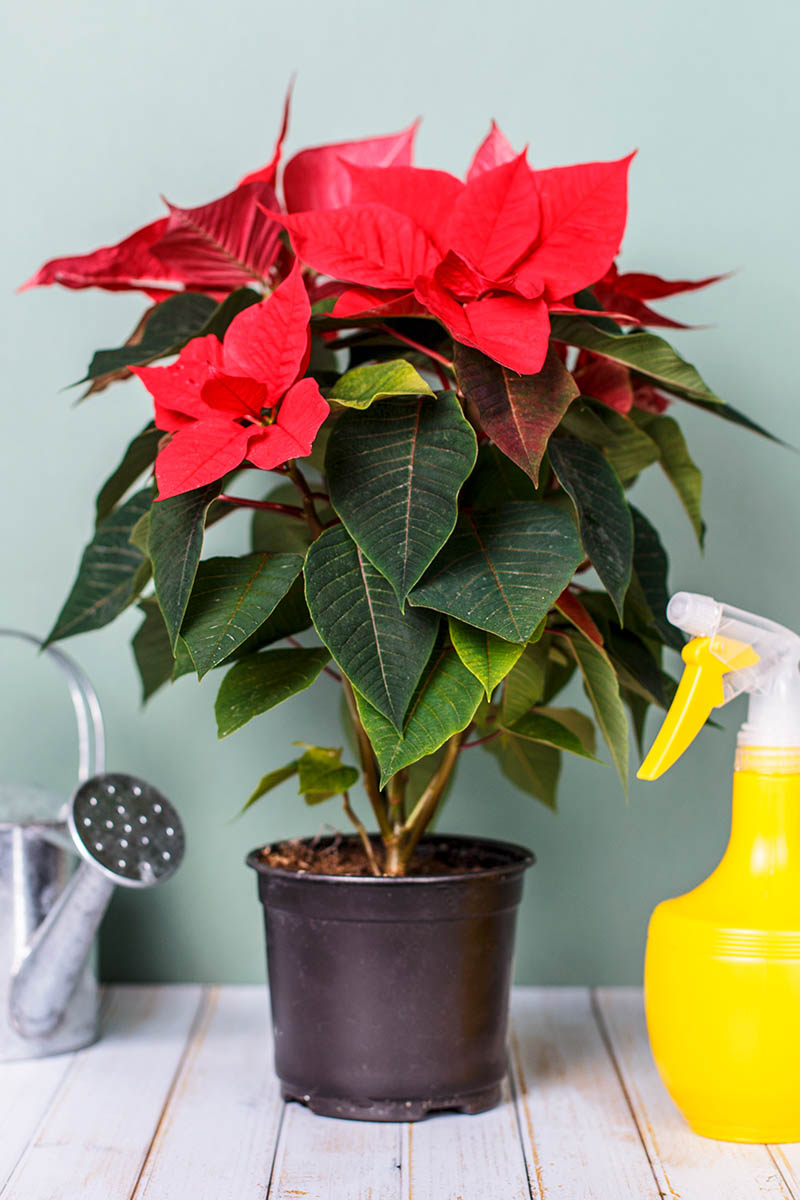 A close up vertical image of a poinsettia plant in a black pot with bright red modified leaves and green foliage set on a wooden surface with a watering can to the left of the frame and a yellow spray bottle to the right, pictured on a green background.