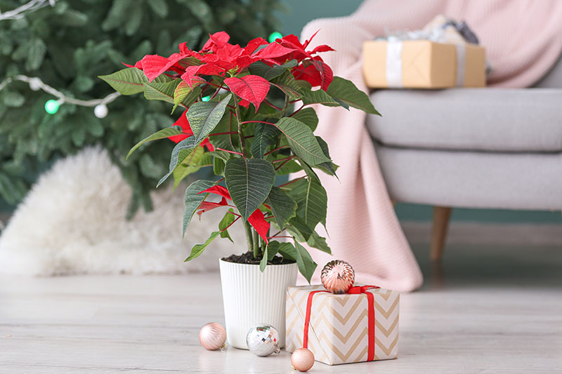 A horizontal image of a living room with a Euphorbia pulcherrima plant in a white pot set on the ground with Christmas decorations and a gift next to it and a tree and gifts in soft focus in the background.