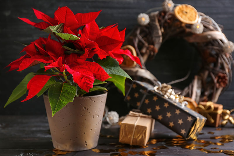 A close up horizontal image of a poinsettia plant with bright red bracts and green leaves growing in a decorative pot, to the right of the frame are Christmas gifts and a wreath in soft focus, all placed on a wooden surface.